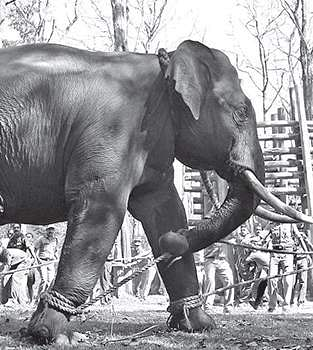 Male ♂ Asian elephant (Elephas maximus) Bharatan at Muthanga elephant camp (East Wayanad)