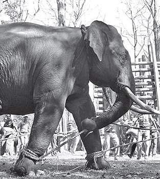 Male ♂ Asian elephant (Elephas maximus) SI Bharatan at Muthanga elephant camp (East Wayanad)