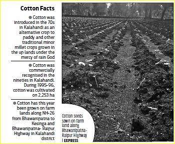Kalahandi to grow more cotton this year- The New Indian Express