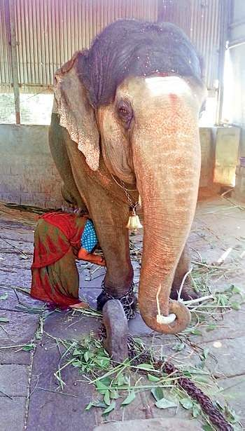 Female ♀ Asian elephant (Elephas maximus) Gauri (Gowri, Uma) at Malur Wildlife Rescue and Rehabilitation Centre
