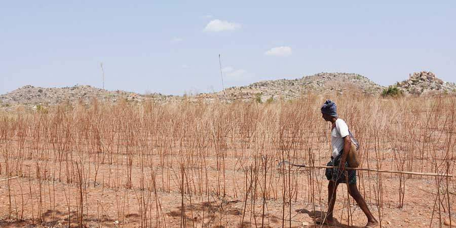 A farmer trudges through a withered pearl millet field at Kokkanti in Tanakal mandal of Anantapur district. The groundwater level has sunk to 650 feet in the village, as a result of which several farmers have migrated to cities for survival