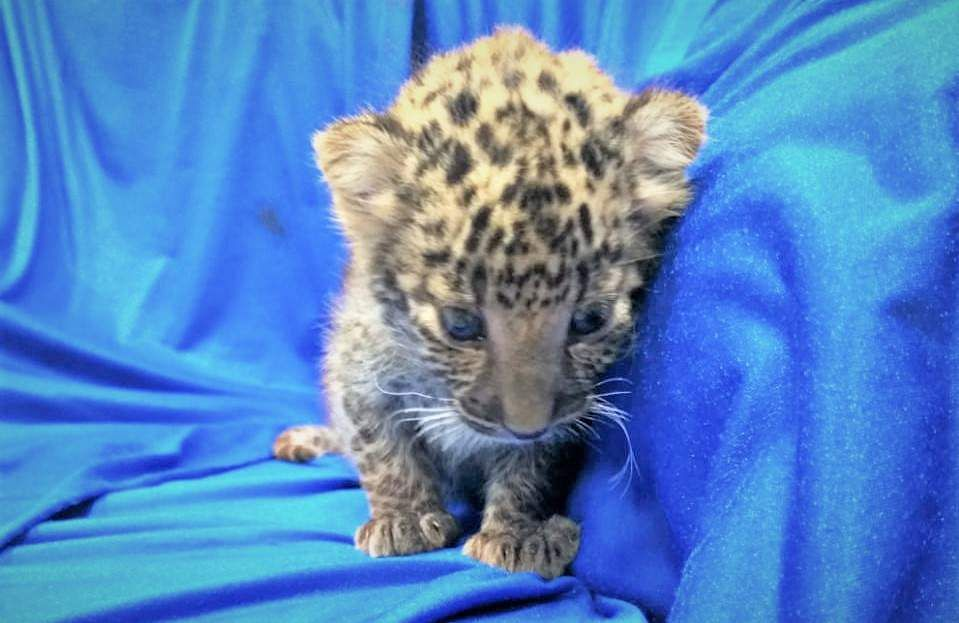 Mewling leopard cub found in passenger's bag at Indian airport