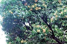 Flowering-mango-trees