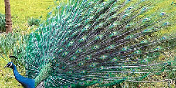 09sep_peacock