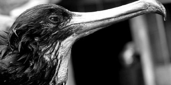 Great-Frigatebird-Sighted-a