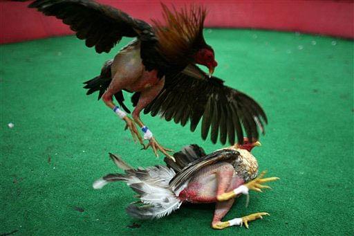 Cockfight_AP