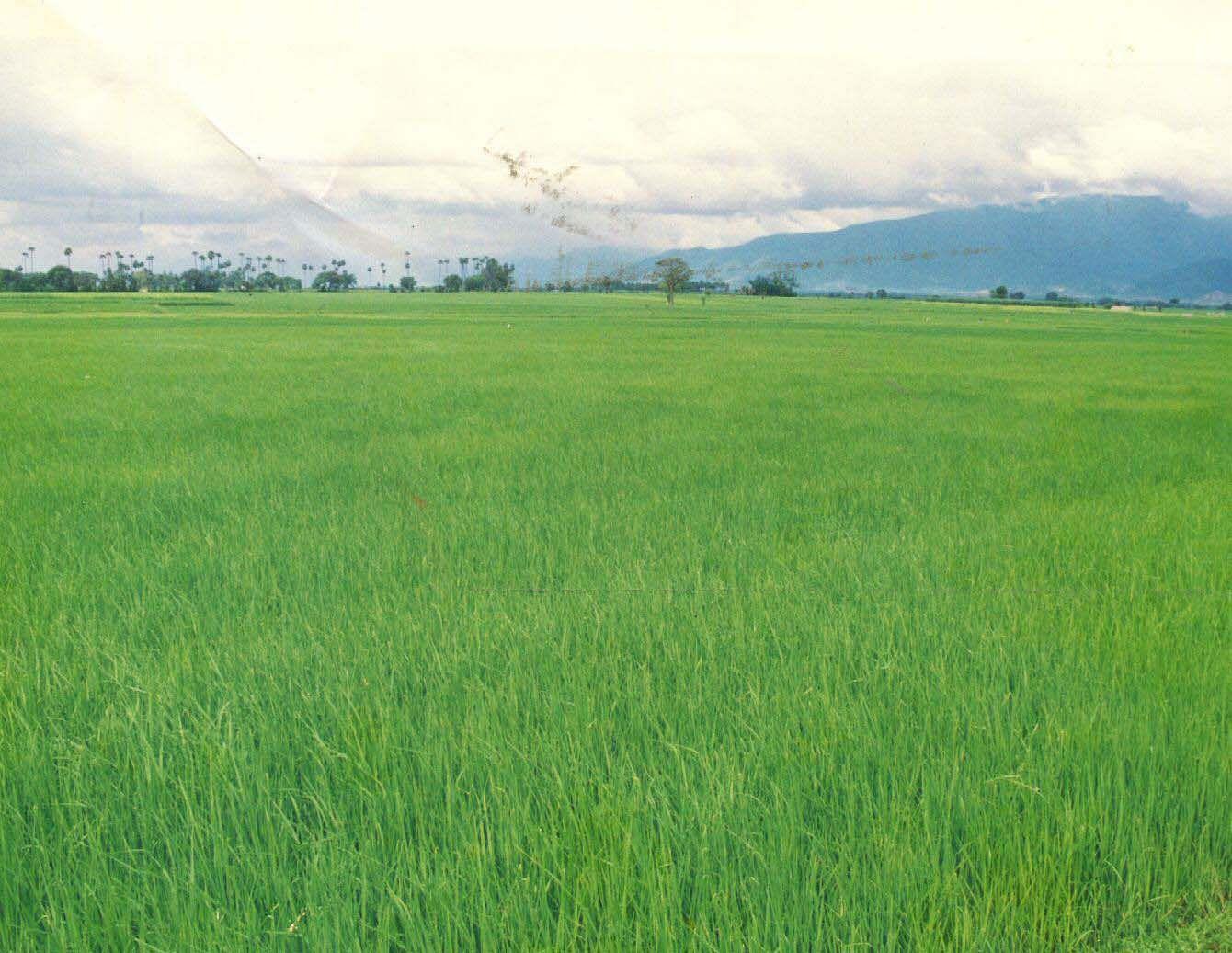 Paddy-field