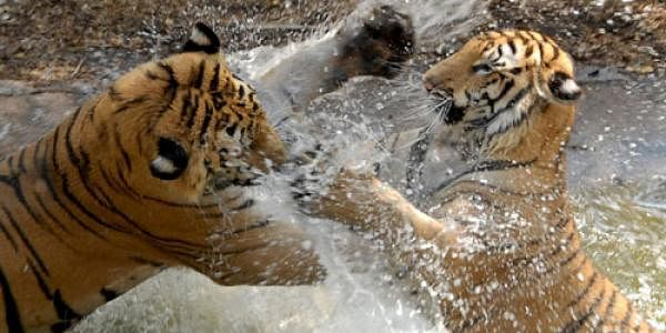Tigers_eps