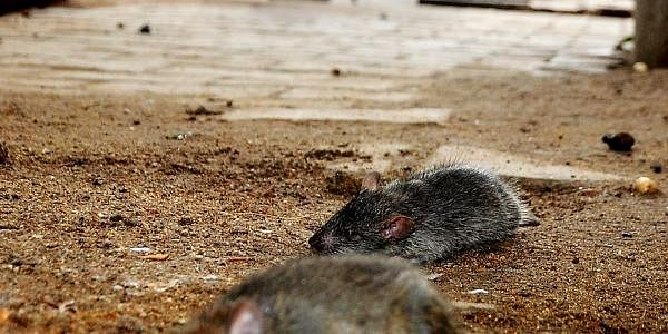Rats-Ex