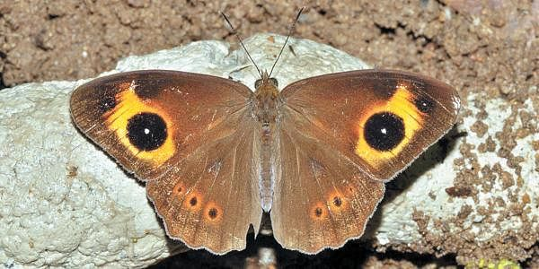 Red-disc-Bushbrown