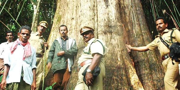 biggest-teak-tree