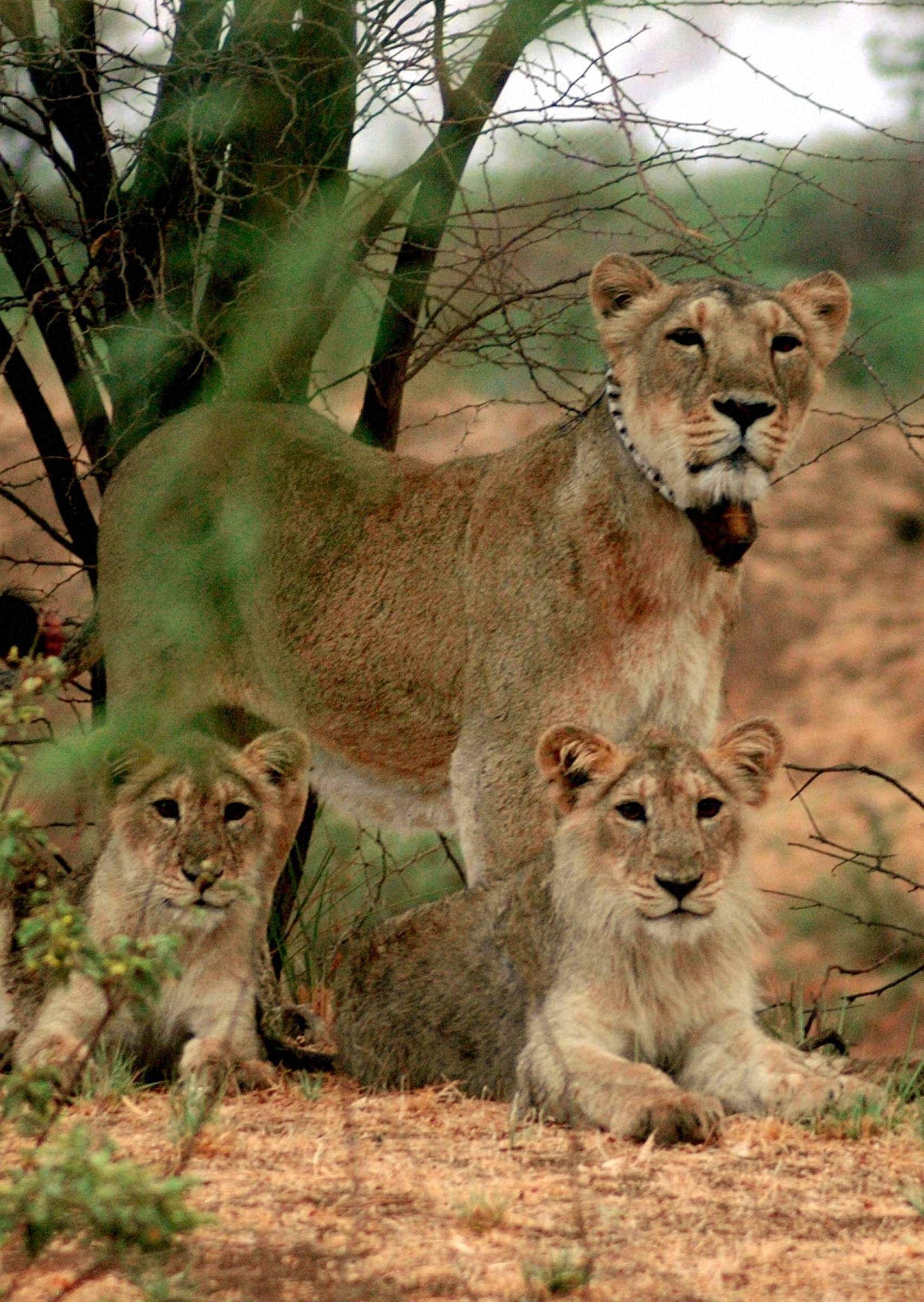 Lion_PTI