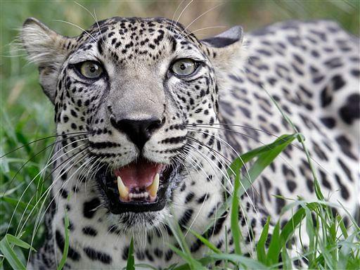 Arabian_leopard_AP