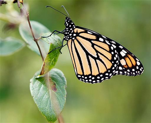 Monarch_Butterflies_AP