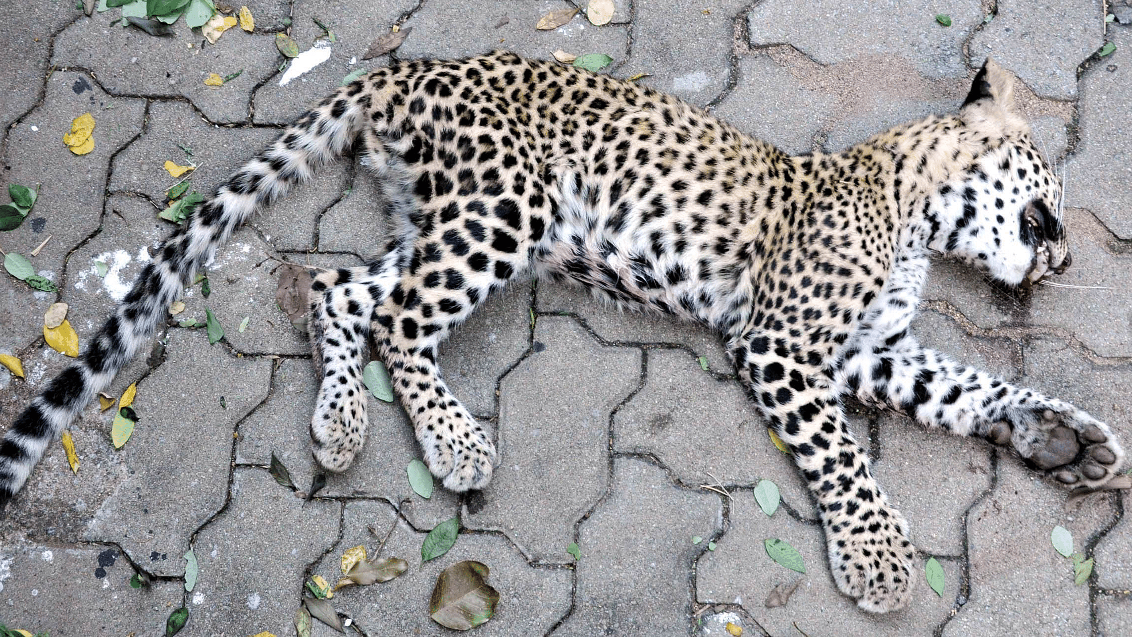 Leopard-Tirumala1EPS