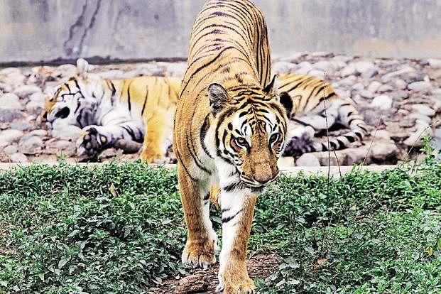 Tiger_Census2AP
