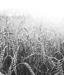 Wheat-Pie