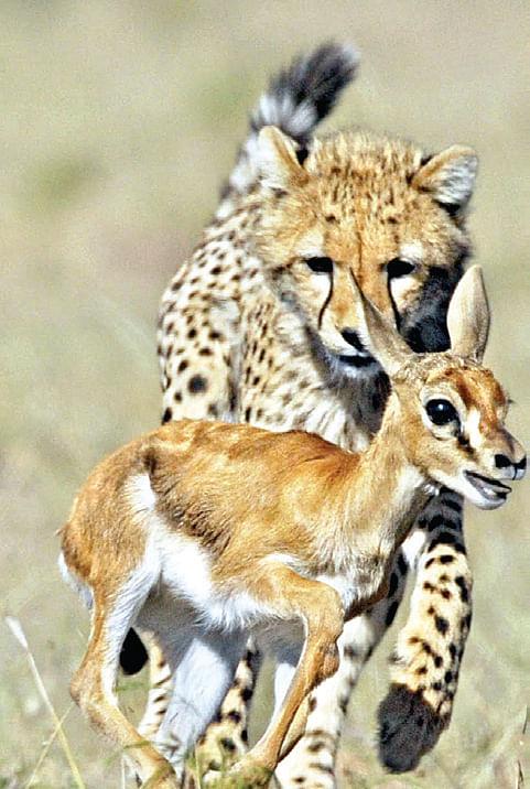 Leopard-Scare