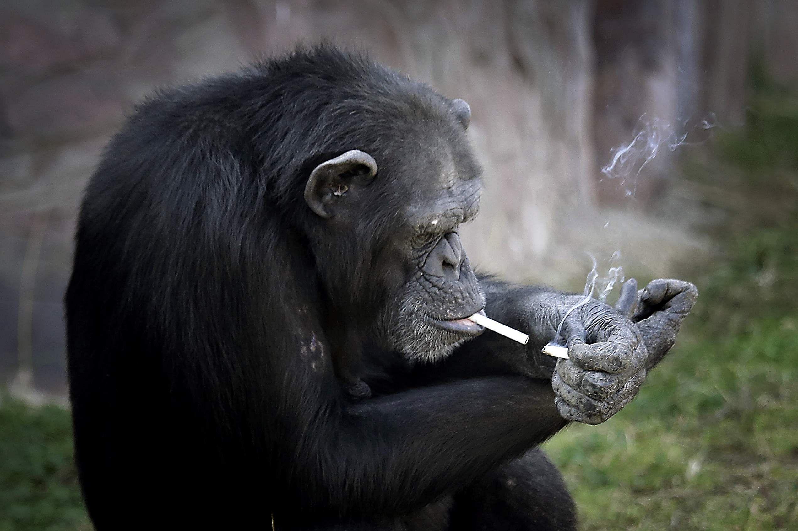 Αποτέλεσμα εικόνας για azalea smoker monkey