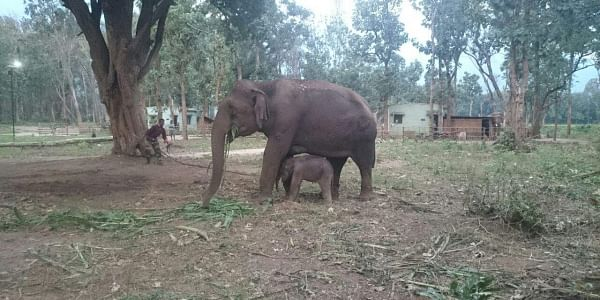 Ailing_elephant_Coimbatore_EPS
