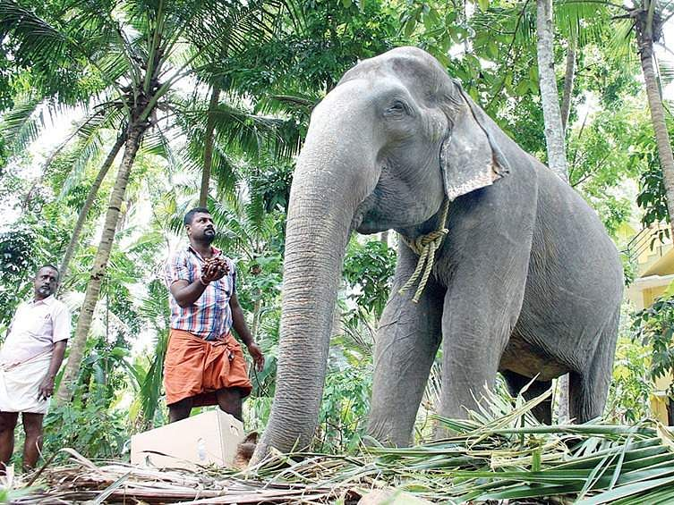 Chenkalloor Dakshayani, the 86-year-old elephant owned by the Travancore Devaswom Board | kaviyoor santhosh