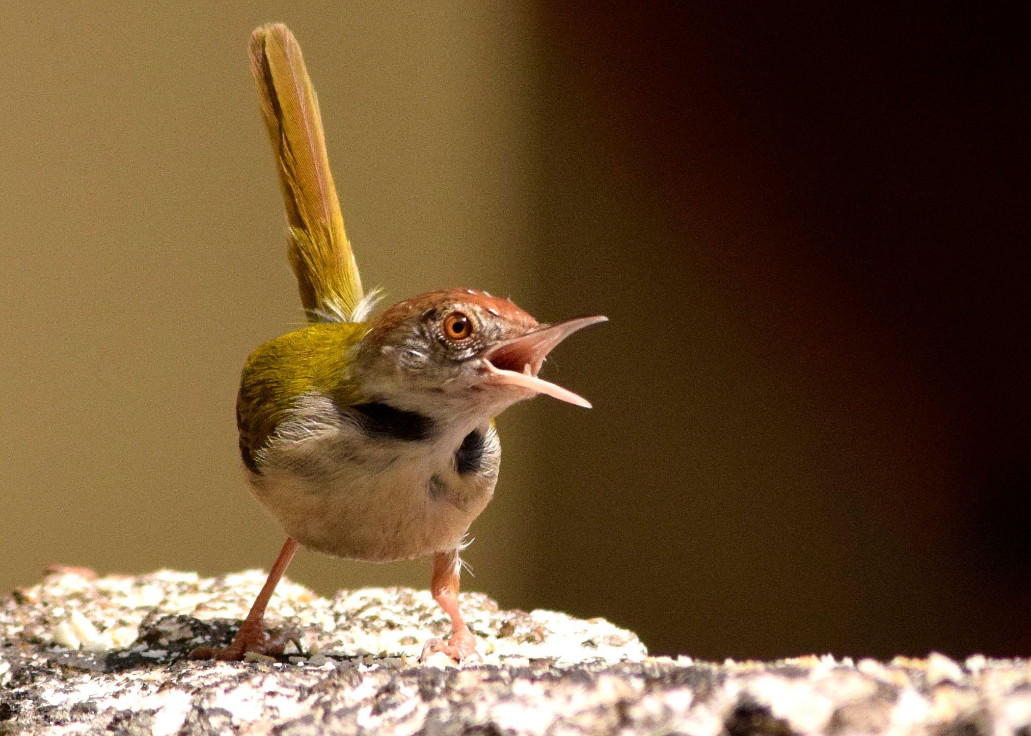CommonTailorbird
