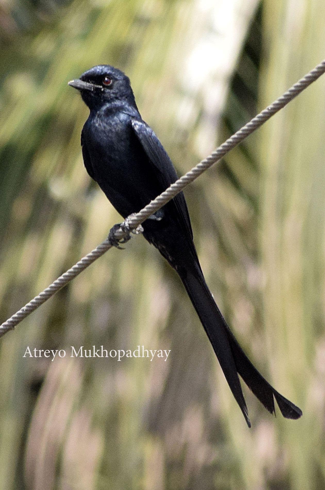 1-black-drongo.jpg