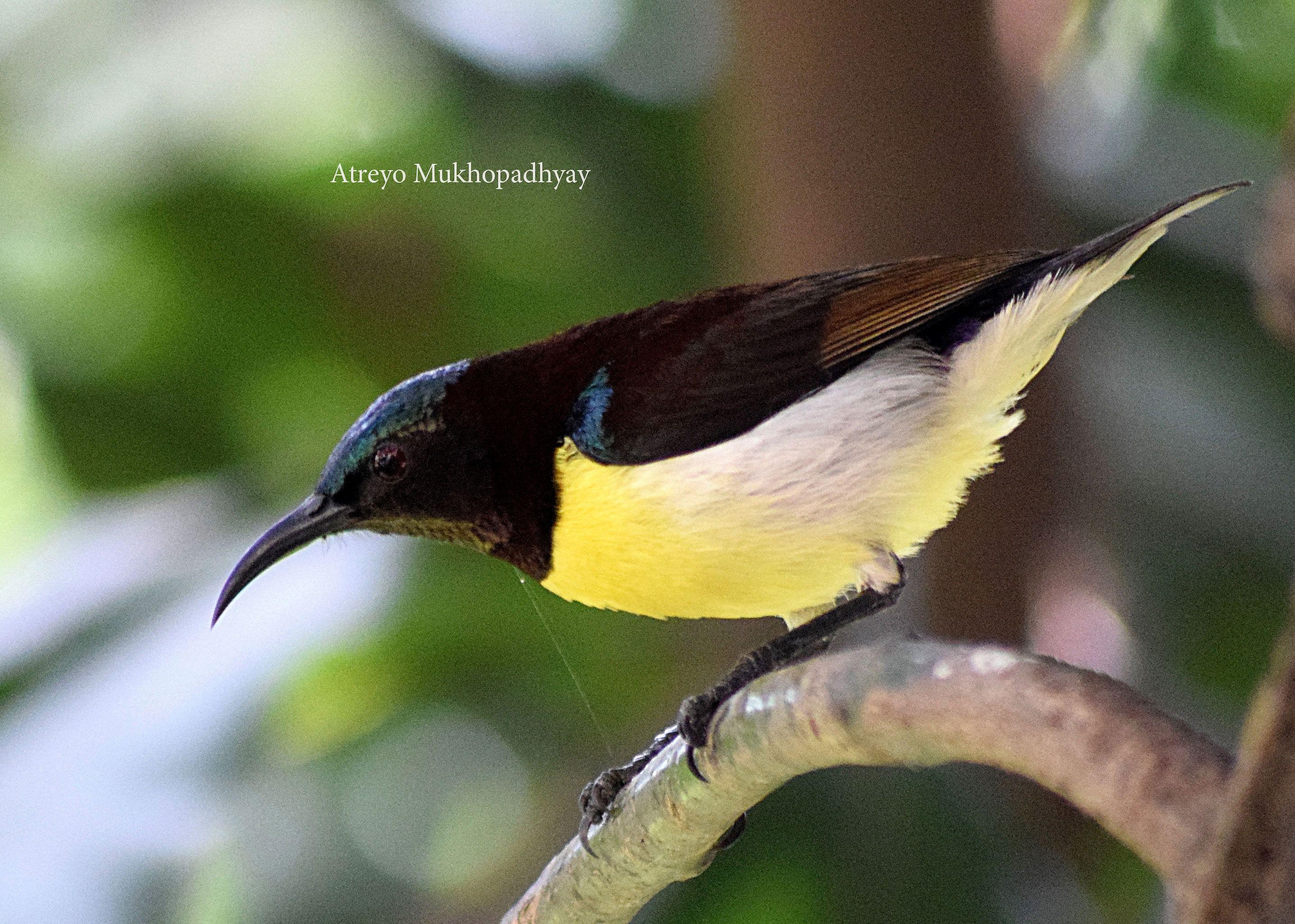 2_purple-rumped-sunbird-male.jpg