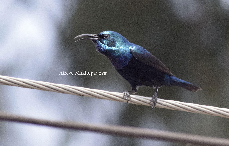 2_purple-sunbird-male.jpg