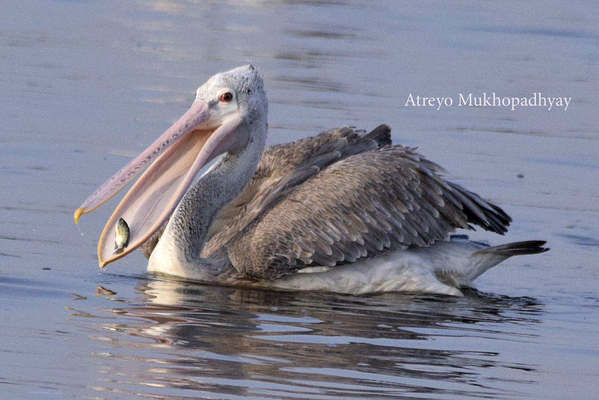 2_spot-billed-pelican.jpg