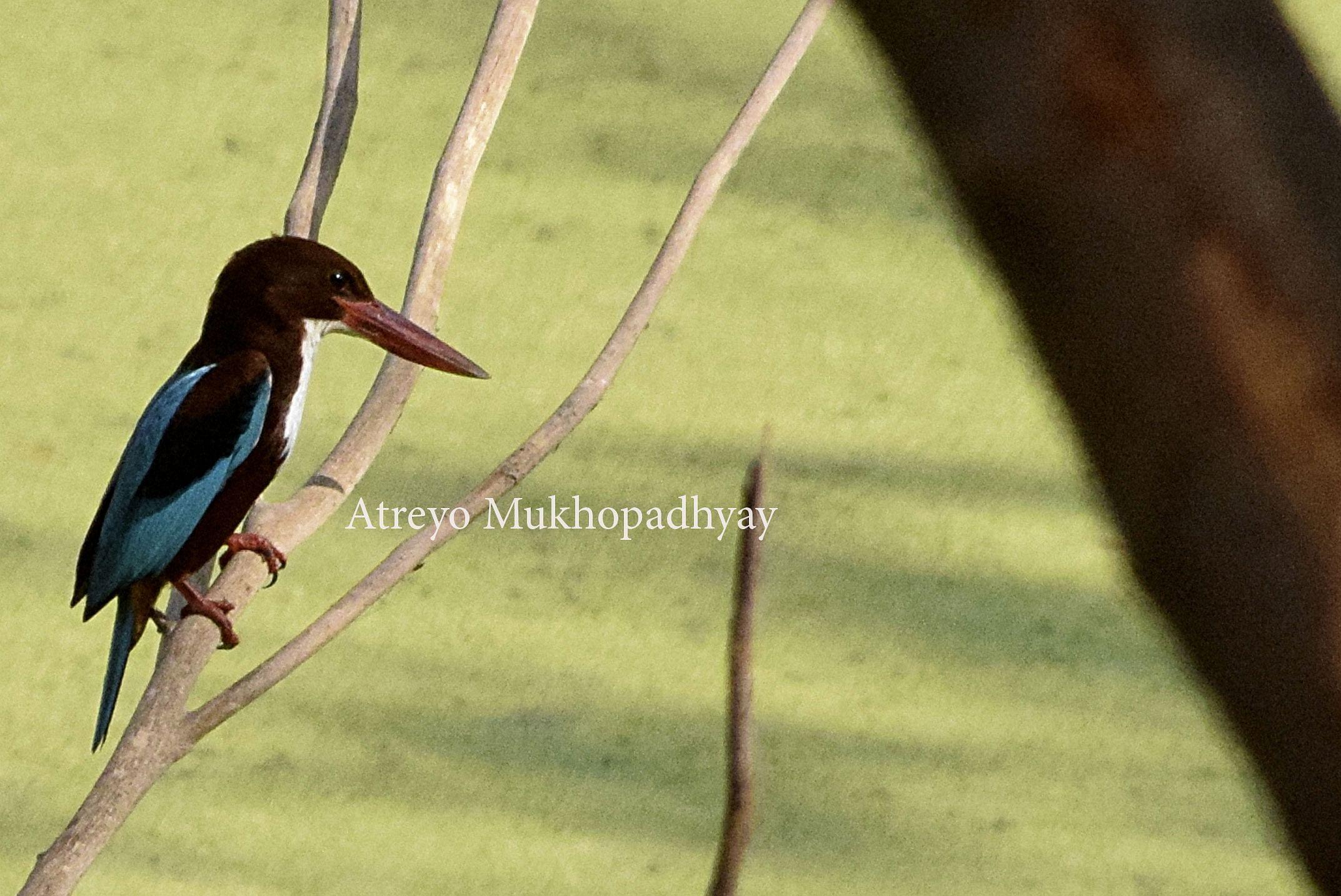 2_white-breasted-kingfisher.jpg
