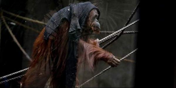 Sandra-Orangutan-AP_(1)3