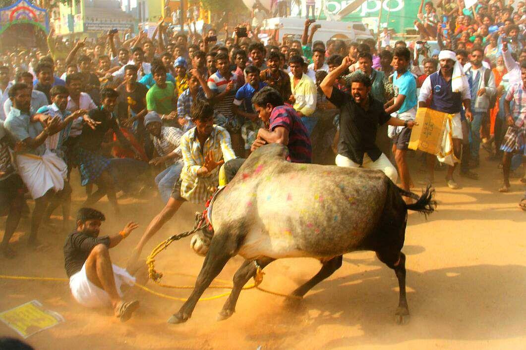 India PM overturns court ban on bull-wrestling