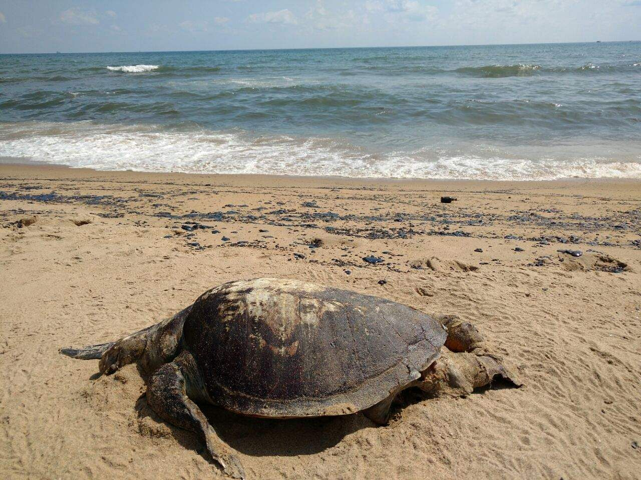 ennore port oil spill spreads all along chennai s shoreline up to one of the few turtles that was found washed ashore dead at marina beach today eps krishna chaithanya chennai the oil spill