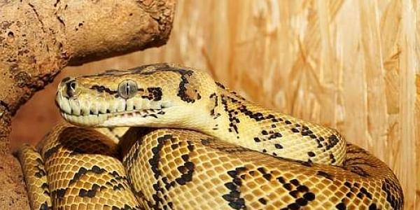 Indonesian villagers eat 'defeated' giant python- The New Indian Express