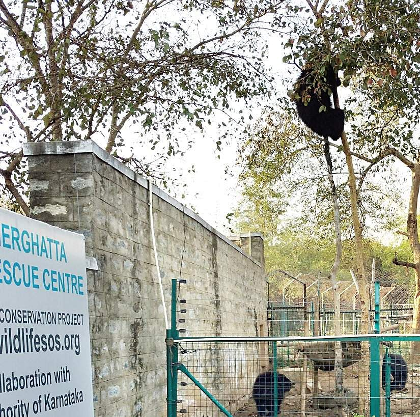 White Tiger Cubs Kill Caretaker At Bengaluru's Bannerghatta Biological Park