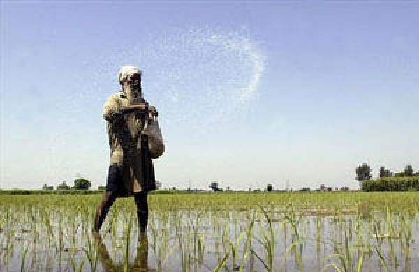 A farmer casts pesticides on his rice paddy field on the outskirts of Amritsar July 16, 2009. (REUTERS)