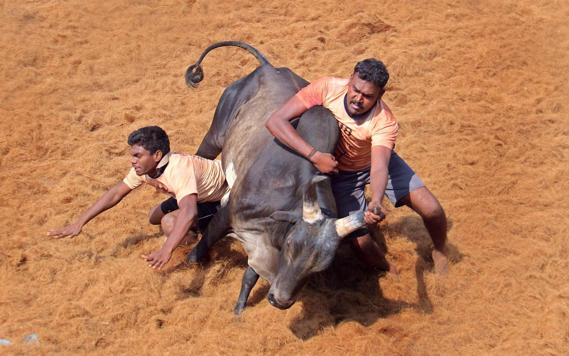 Ahead of Jallikattu season, SC may refer law to special bench