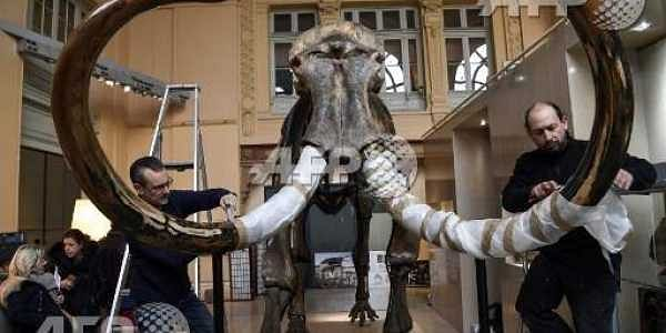 This file photo taken on November 16, 2017 shows the skeleton of an mammoth, which will go on auction on December 16, 2017 at the Aguttes auction house. |AFP