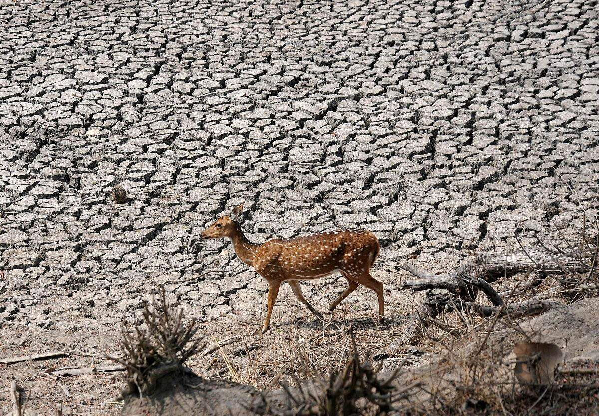 A spotted deer scrounges for water at a dried-up watering hole in the Bandipura National Park near Mysuru in Karnataka. Already ravaged by drought, the coming summer months spell doom for fauna in the forest. (Udayashankar S | EPS)
