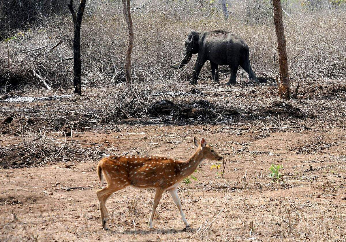 An elephant and a spotted deer search for grass in the Bandipur National Forest. With summer a month away, the underbrush in the forest is cinder dry. (Udayashankar S | EPS)