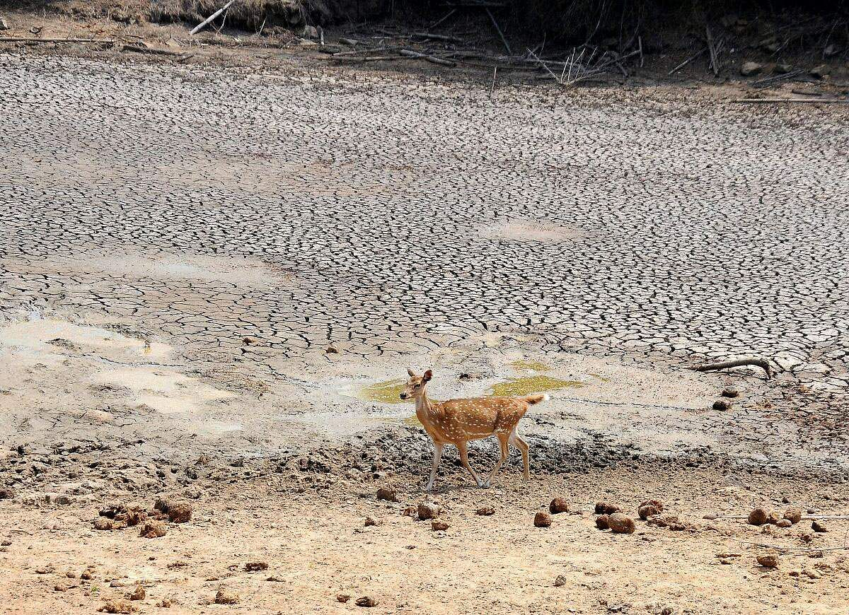 Watering holes in the Bandipura National Forest have shrunk to mere puddles. The summer months are going to be hard for wildlife, such as this spotted deer, to survive this year. (Udayashankar S | EPS)