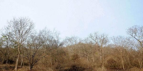Ravaged by drought, the Bandipura National Park presents a dreary picture long before summer is due. (Udayashankar S   EPS