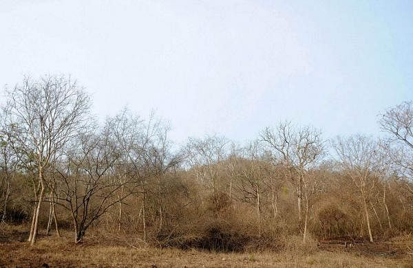 Ravaged by drought, the Bandipura National Park presents a dreary picture long before summer is due. (Udayashankar S | EPS