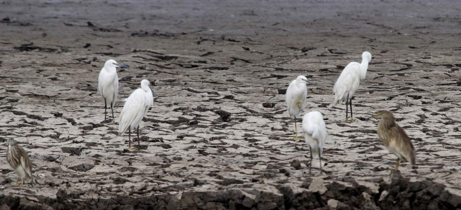 A flock of birds crowd the cracked bed of the Nidige Tank in Shivamogga, desperate to find prey. They even have to compete with the fishermen, meanwhile. (P Shimoga Nandan | EPS)