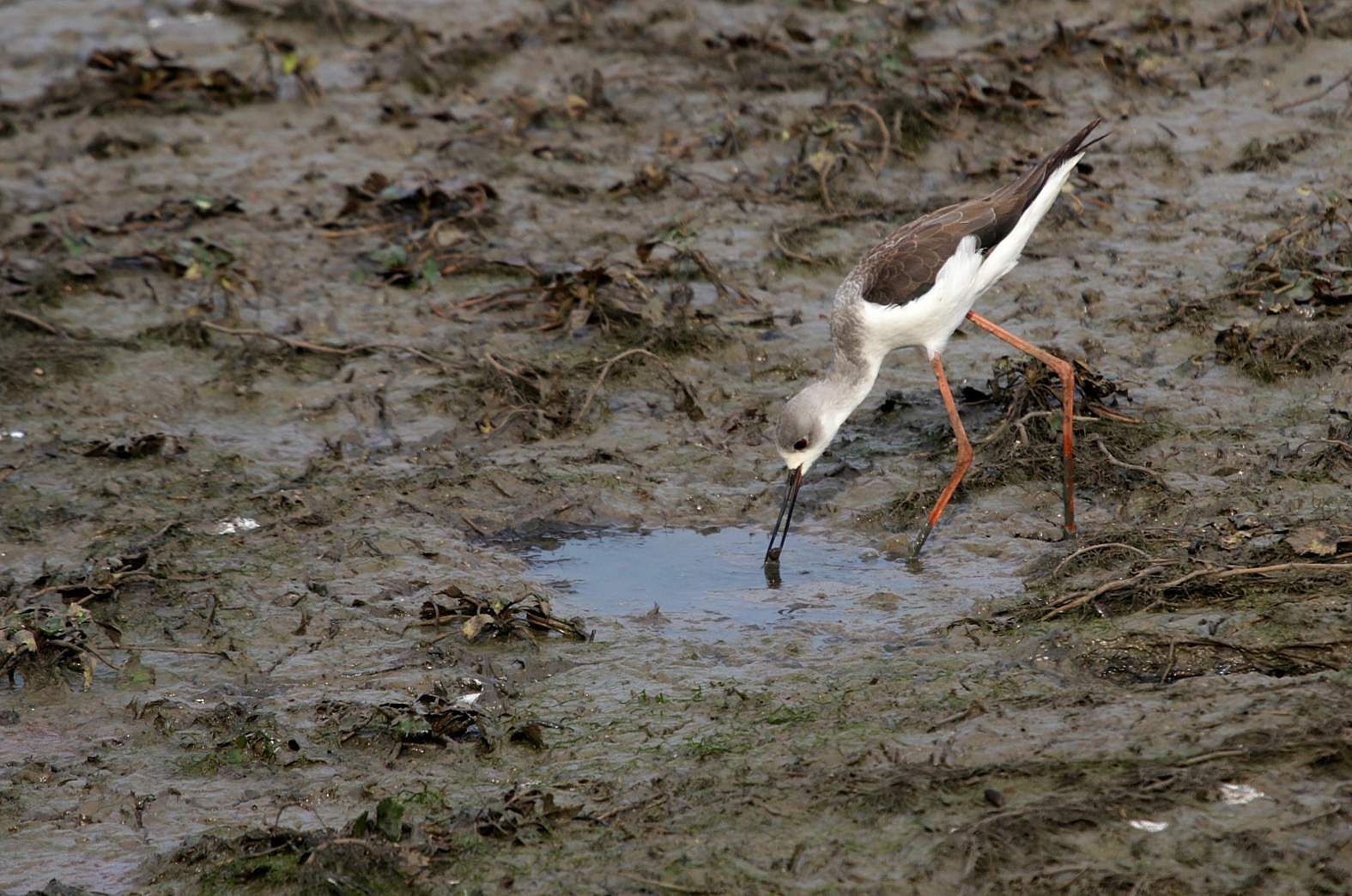 A lone black-winged stilt catch gets lucky! With just a mug full of water in this part of the Nidige tank bed for fish to survive, it becomes a sitting duck for the bird.  (P Shimoga Nandan | EPS)