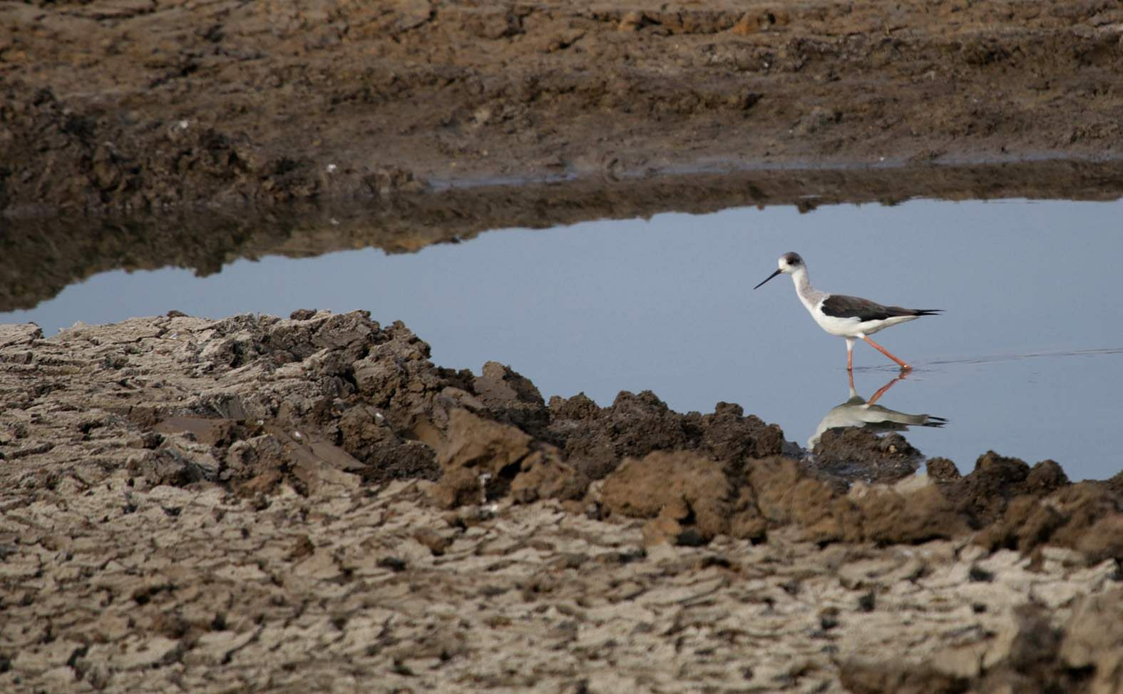 The little black-winged stilt catch bird moves on to wider waters but will it strike it rich again? Tough luck seems to await. (P Shimoga Nandan | EPS)
