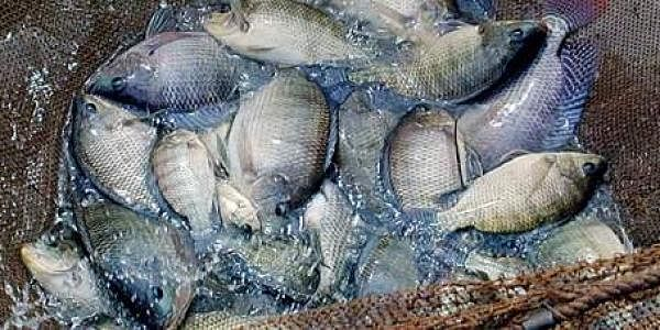 tilapia fish in india