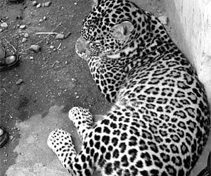 Leopard In Palwal