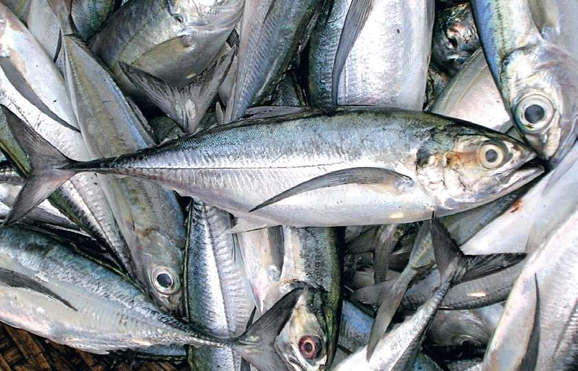 Slight increase in marine fish landings